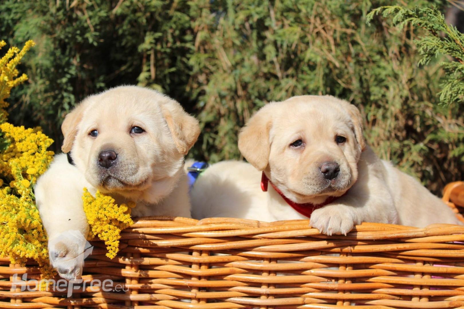 Wspaniały Labrador Retriever szczeniaki Hodowla Melisyja (FCI) ZKwP - homefree HG15