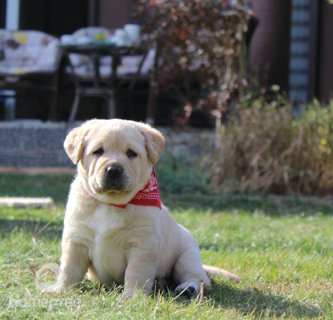 Chwalebne Labrador Retriever szczeniaki Hodowla Melisyja (FCI) ZKwP - homefree XR02
